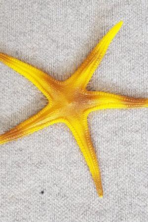 Fake Fish Starfish