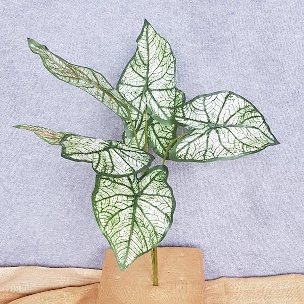 Caladium Angle Wing Green x 7