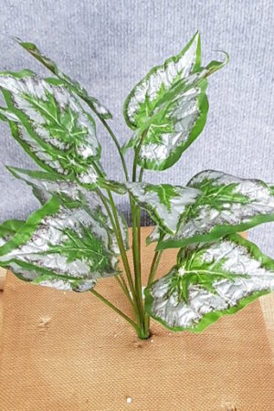 Begonia Green x 12