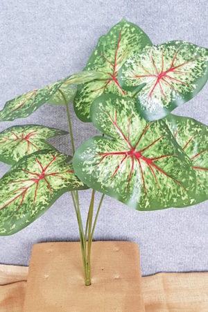 Caladium Angle Wing Plant x 7
