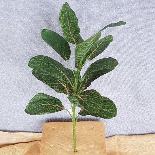 Calathea Plant x 12