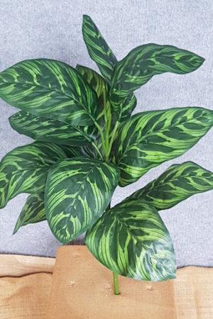 Peacock Plant x 12