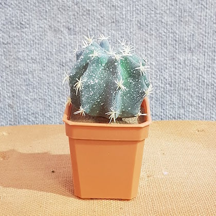 Fake – Cactus Melon Cactus