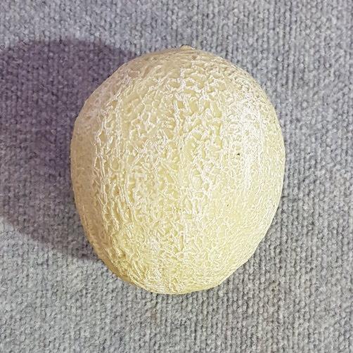 Fruit Honey Dew Melon Single